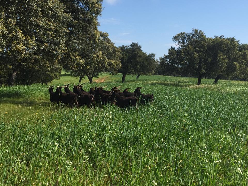 Estudio de relación entre la calidad de la carne de cabrito y la de la leche de cabra